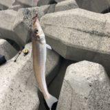 姫路灘浜でキス釣りしました。