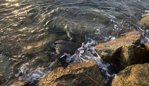 姫路大塩十三段波止でルアー釣り。ドラグが止まらないあいつが、、、、
